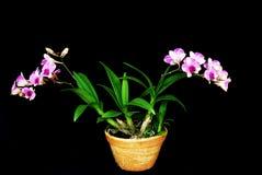 Orchidée rose dans le bac Images stock