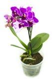 Orchidée rose dans le pot d'isolement Images libres de droits