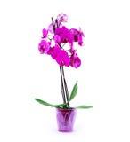 Orchidée rose dans le pot sur le fond blanc Photos stock