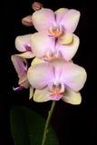 Orchidée rose de brin avec des baisses de rosée Photos libres de droits
