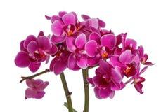 Orchidée rose de floraison avec beaucoup de fleurs sur un fond blanc Photos stock
