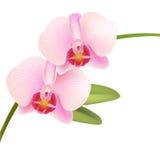 Orchidée rose de Phalaenopsis Image libre de droits