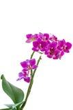 Orchidée rose de Phalaenopsis Photographie stock
