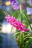 Orchidée rose de Rhynchostylis Photos stock
