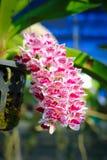 Orchidée rose de Rhynchostylis Photos libres de droits