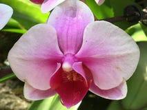 Orchidée rose de tonalités dans le jardin Image stock