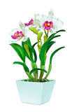 Orchidée rose et blanche Photos libres de droits