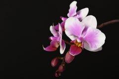 Orchidée rose et lilas sur le noir Photographie stock libre de droits