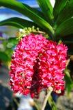 Orchidée rose-foncé de Rhynchostylis Photographie stock