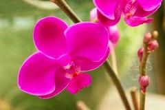 Orchidée rose lumineuse sur un plan rapproché de branche Image libre de droits
