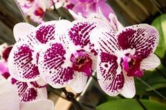Orchidée rose lumineuse sur un plan rapproché de branche Photo stock