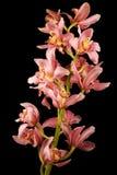 Orchidée rose/pourprée sur le fond noir Photo stock