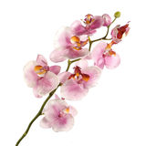 Orchidée rose simple d'isolement sur le fond blanc images stock