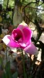 Orchidée rose simple de Dendrobium Photo libre de droits