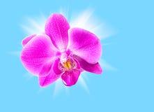 Orchidée rose sur le bleu Images stock