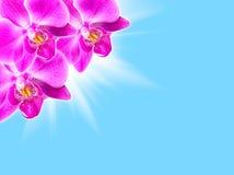 Orchidée rose sur le bleu Image stock