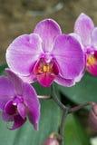 Orchidée rose sur le fond foncé Image libre de droits