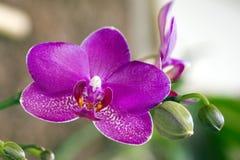 Orchidée rose sur le fond foncé Photographie stock libre de droits