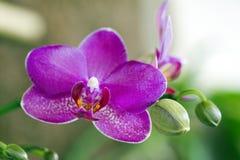 Orchidée rose sur le fond foncé Photo stock