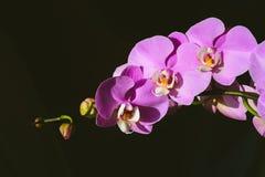Orchidée rose sur un fond noir photos libres de droits