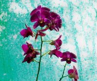 Orchidée rouge images stock
