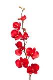 Orchidée rouge Photographie stock libre de droits