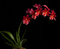 Orchidée rouge Image stock