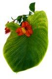 Orchidée rouge avec la lame verte Photographie stock libre de droits