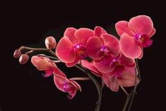 Orchidée rouge d'isolement Photo libre de droits