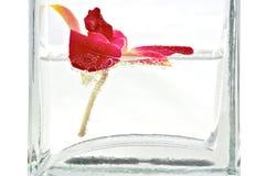 Orchidée rouge dans le vase en verre image stock