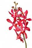 Orchidée rouge de mokara Photo libre de droits