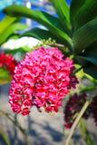 Orchidée rouge de Rhynchostylis Image stock