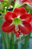 Orchidée rouge solitaire Photos stock