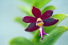 Orchidée rouge sur le fond vert Images stock