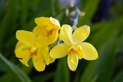 Orchidée sauvage. Photo stock