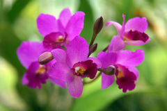 Orchidée sauvage. Images libres de droits
