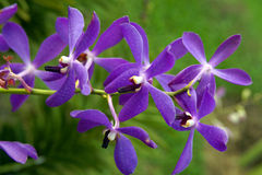 Orchidée sauvage. Image stock