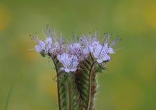Orchidée sauvage avec les fleurs bleues Photos stock