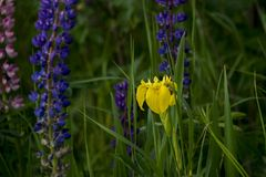 Orchidée sauvage jaune avec l'herbe verte photographie stock