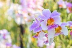 Orchidée sauvage pourpre blanche, syn de teres de Vanda Teres de Papilionanthe Photographie stock libre de droits