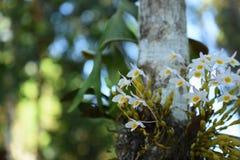 Orchidée sauvage rare et magnifique Photo libre de droits