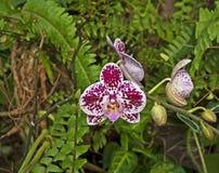 Orchidée sauvage rose en serre chaude de Th Photo stock