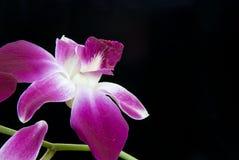 Orchidée simple au-dessus de noir Photographie stock