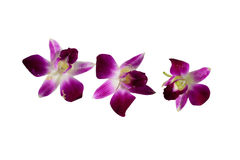 Orchidée striée par rose Image libre de droits