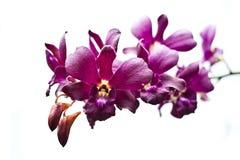 Orchidée sur le blanc d'isolement Photos libres de droits