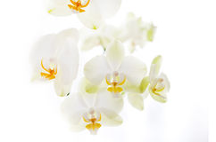Orchidée sur le fond blanc Photos stock