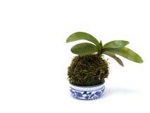 Orchidée sur le fond blanc Photo libre de droits