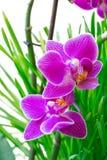 Orchidée sur le fond d'herbe Photo stock