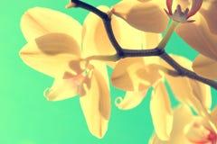 Orchidée sur le fond de ciel bleu avec des couleurs de vanille Photographie stock