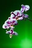 Orchidée sur le fond vert Image libre de droits